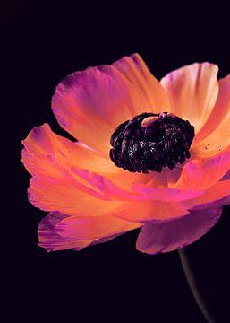 Pink Ranunculus-3 von Pia Schneider