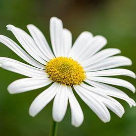 Marguerite flower van Michael Valjak