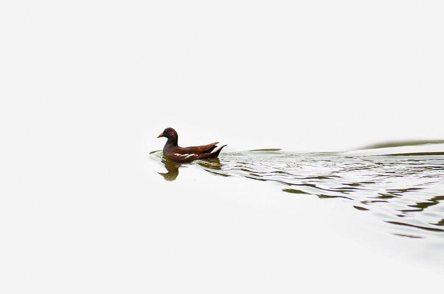 Waterhoen van Dennis Timmer