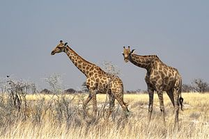 Nieuwsgierige giraffen van
