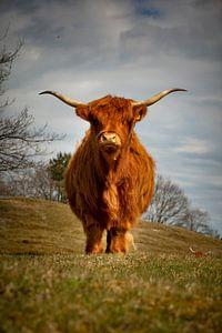 Schottischer Highlander in Zeepeduinen , Burgh-Haamstede, Zeeland