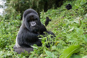 Berggorilla (Gorilla gorilla beringei) Silberrücken am Berghang im Volcanoes-Nationalpark, Ruanda von Nature in Stock