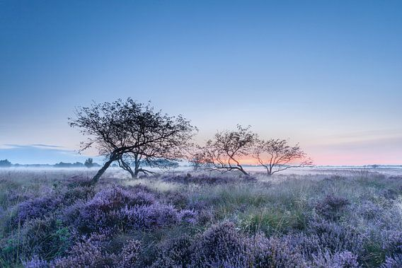 Bloeiende heide in de vroege morgen van Karla Leeftink