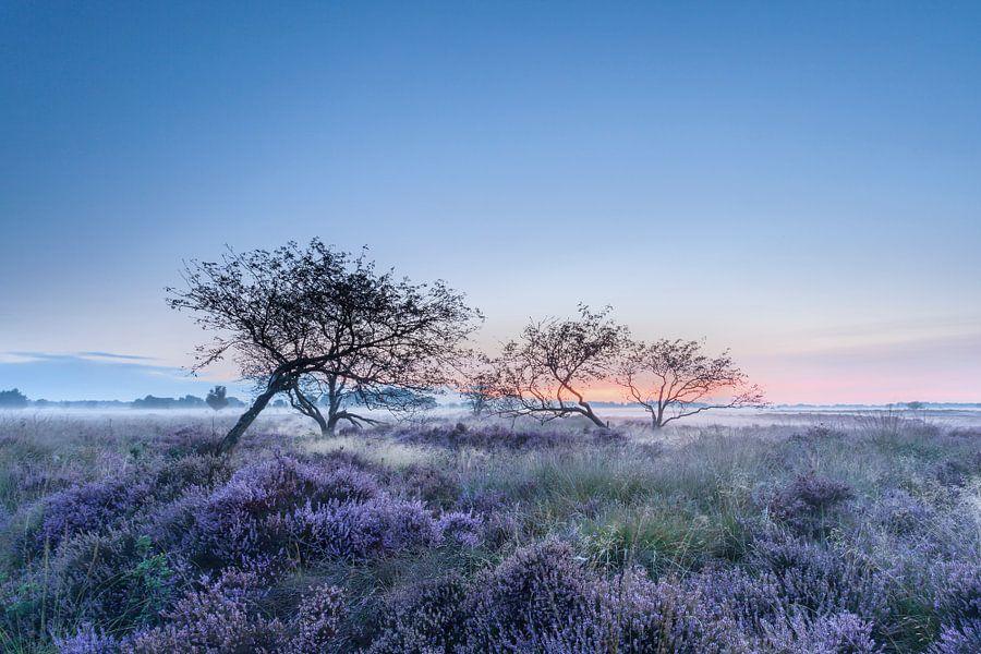 Bloeiende heide in de vroege morgen