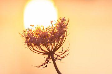 lampje van wilde peen van Tania Perneel