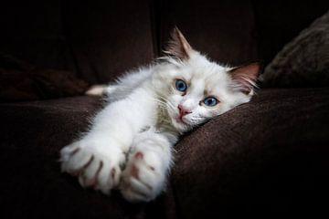 Ragdoll Kitten van R Nieuwstraten