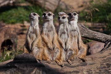 Een sterk bedrijf, de groep vormt een systeem. Schattige Afrikaanse dieren stokstaartjes (Timon) kij van Michael Semenov