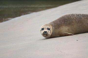 Zeehond op het strand van Katwijk van