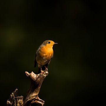Das Rotkehlchen im Wald