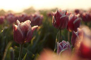 Des tulipes dans le soleil du matin sur Photos by Aad
