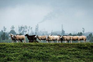 Schapen in Nationaal Park de Biesbosch van