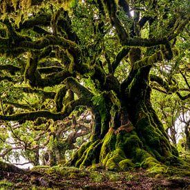 Oude boom op Madeira van Michel van Kooten