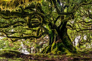 Vieux arbre sur Madère sur Michel van Kooten
