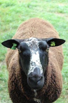 Braunes Schaf auf der Weide von Eline Lohman