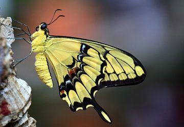 Schwalbenschwanz von Ulrike Leone