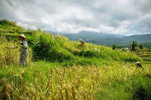 Oogsters in de rijstvelden van Jatiluwih van