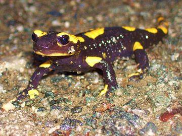 Feuer-Salamander van Ramon Labusch