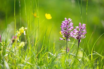 Prairie de fleurs sauvages avec orchidée Orchidée de Helm sur Ines Porada