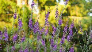 Walstroleeuwenbek (Linaria purpurea) Bloemetjes gordijn van