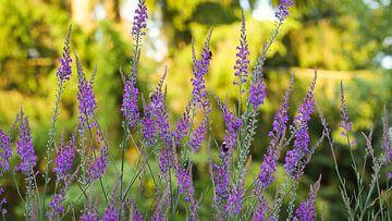 Walstroleeuwenbek (Linaria purpurea) Bloemetjes gordijn van Sran Vld Fotografie