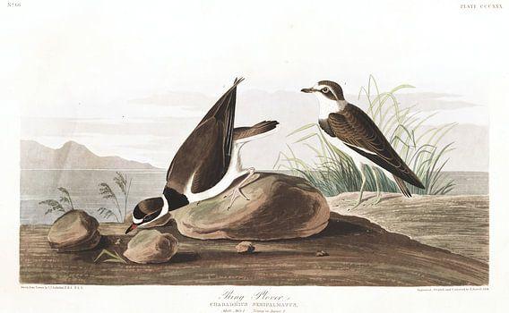 Amerikaanse Bontbekplevier van Birds of America