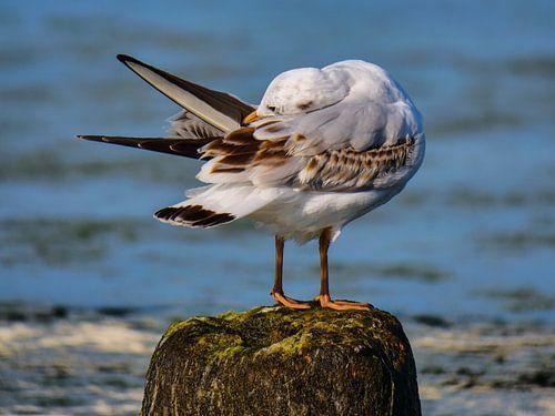 Mouette pour les soins du plumage sur