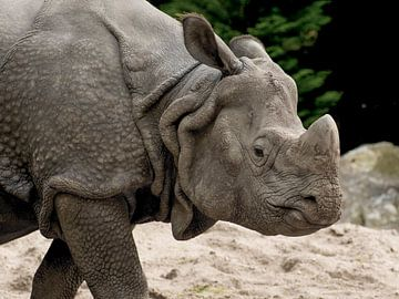 Indisches Nashorn : DierenPark Amersfoort von Loek Lobel