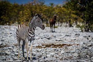 Zebra van