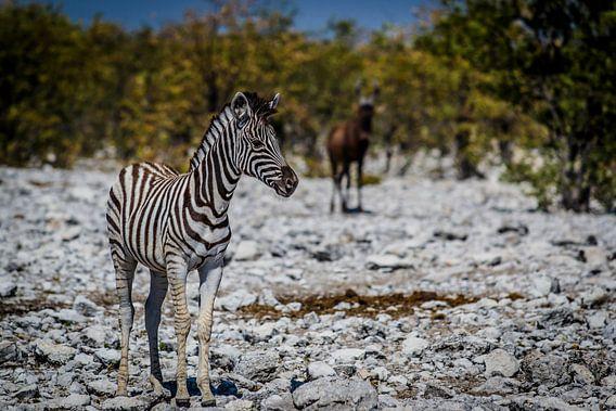 Zebra van Sander RB