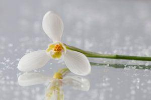 Sneeuwklokje (Galanthus 'Primrose Warburg)