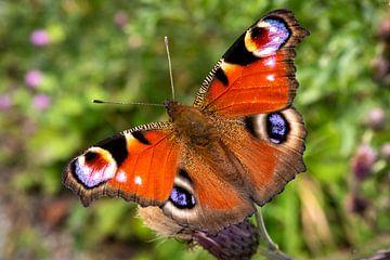 Makroaufnahme bunter Schmetterling Tagpfauenauge isoliert von Dieter Walther