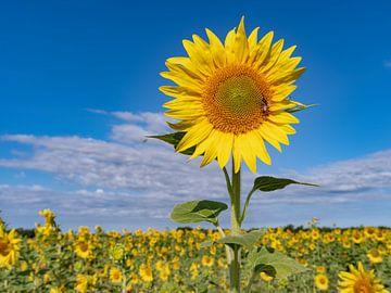 zonnebloemvelden in de provence zijn prachtig! van Hillebrand Breuker