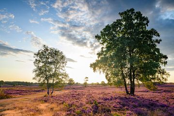 Blühende Heidekrautpflanzen während des Sonnenaufgangs im Sommer von Sjoerd van der Wal