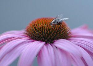 Vlieg op roze Echinacea van