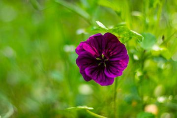 paarse bloem van Silvia Rikmanspoel
