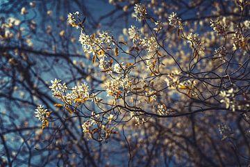 Bloesems wit 02 van FotoDennis.com
