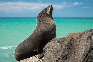NZ Fur Seal op de rotsen van Oamaru, Nieuw-Zeeland