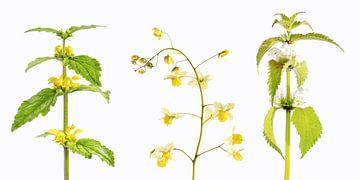 lente collage met elfenbloem en dovenetel van Hanneke Luit