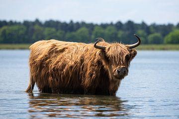 Schotse hooglander in het water! van Peter Haastrecht, van