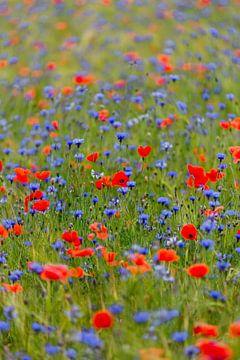 Veld vol klaprozen en korenbloemen. van Maikel Claassen Fotografie