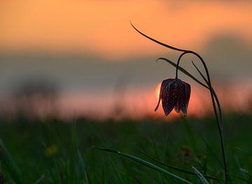 Kievitsbloem met de ondergaande zon van Michel Knikker