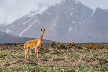 Vicuna in Mount Chimborazo NP Andes Ecuador van Lex van Doorn