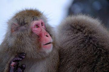 Snow Monkey 2 van