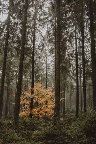 Herfstboom in dennenbos