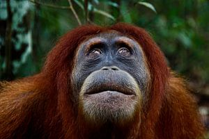 Orang Oetan in het regenwoud van Sumatra van