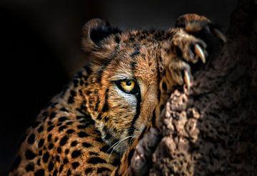 Leopard versteckt sich hinter einem Felsen von Chihong