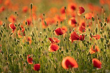 Mohnblumen im Licht der untergehenden Sonne #4 von Edwin Mooijaart