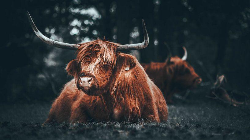 Schotse hooglander van Bjorn Brekelmans