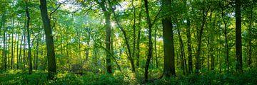 Licht in het bos - Panorama