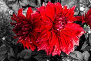 Rote Dahlia auf schwarz-weißem Hintergrund